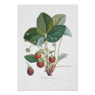 Strawberry Posters