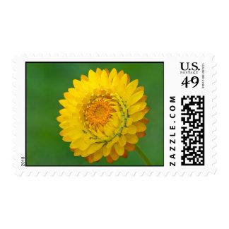Strawflower amarillo sello