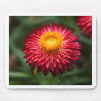 Strawflower (Xerochrysum bracteatum) Mouse Pad