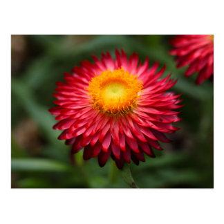 Strawflower (Xerochrysum bracteatum) Postcard