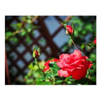 Stray Rose macro photography flower shoot Postcard