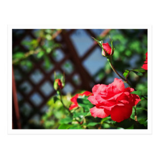 Stray Rose macro photography flower shoot Postcard
