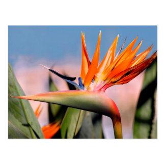 Strelitzia flower postcard