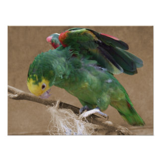 Stretching Double Yellow Headed Amazon Parrot Posters