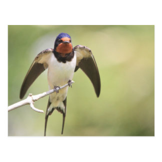 Stretching Swallow Post Card