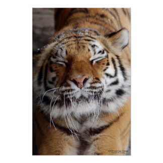 Stretching Tiger Poster