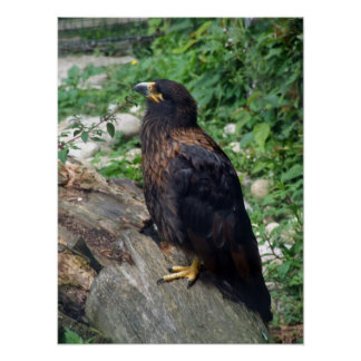 Striated Caracara Posters