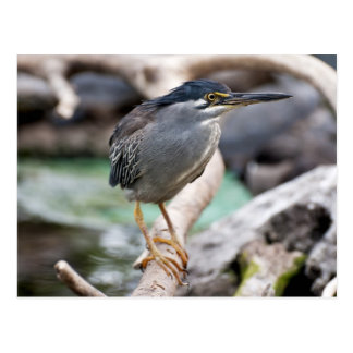 Striated heron postcards