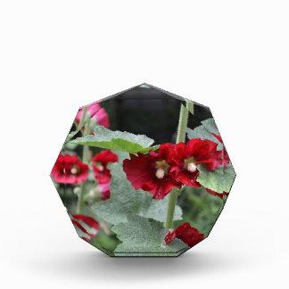 Striking Deep Red Hollyhock Flowers Althea Rosa Award