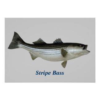 Stripe Bass Poster