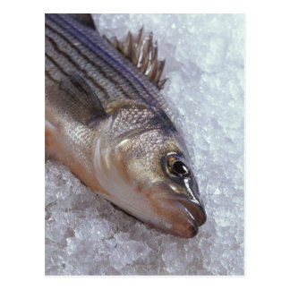 Striped bass postcard