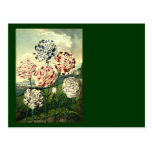 Striped Carnations Postcard