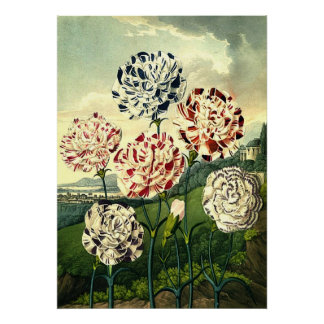 Striped Carnations Poster