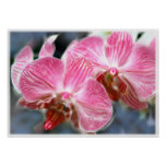 Striped Pink Phalaenopsis Orchids Print
