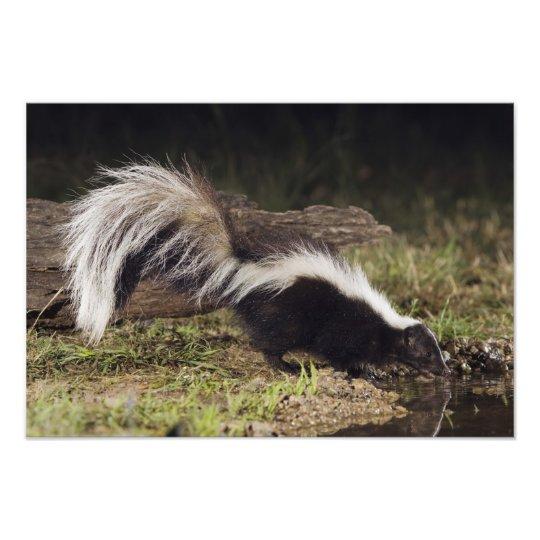 Striped Skunk, Mephitis mephitis, adult at 2 Photo Print