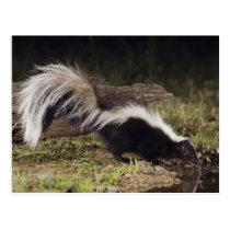 Striped Skunk, Mephitis mephitis, adult at 2 Postcard