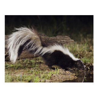 Striped Skunk, Mephitis mephitis, adult at 2 Postcard