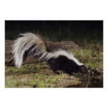 Striped Skunk, Mephitis mephitis, adult at 2 Poster