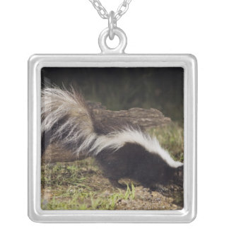 Striped Skunk, Mephitis mephitis, adult at 2 Silver Plated Necklace
