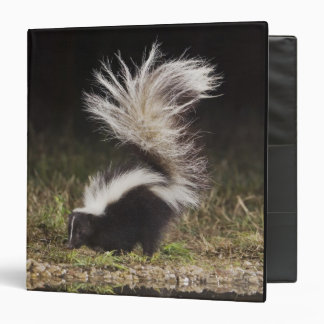 Striped Skunk, Mephitis mephitis, adult at Binder