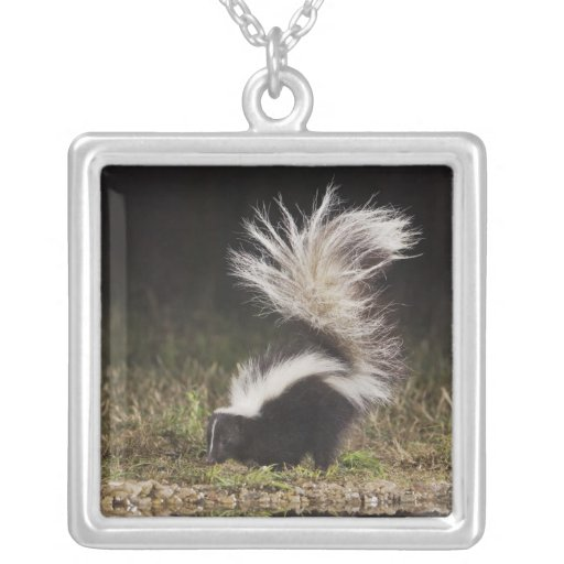 Striped Skunk, Mephitis mephitis, adult at Necklace