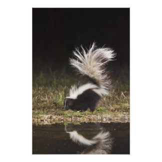 Striped Skunk, Mephitis mephitis, adult at Photo Print