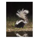 Striped Skunk, Mephitis mephitis, adult at Postcards