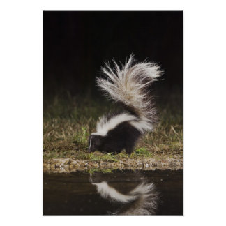 Striped Skunk, Mephitis mephitis, adult at Poster