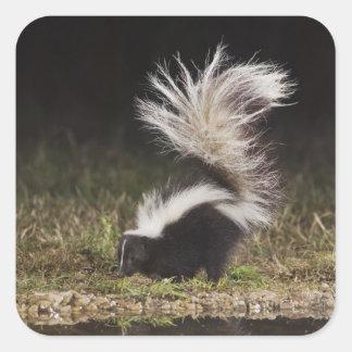 Striped Skunk, Mephitis mephitis, adult at Square Sticker