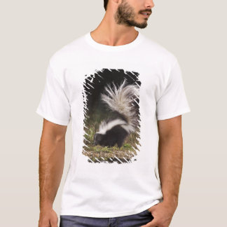 Striped Skunk, Mephitis mephitis, adult at T-Shirt