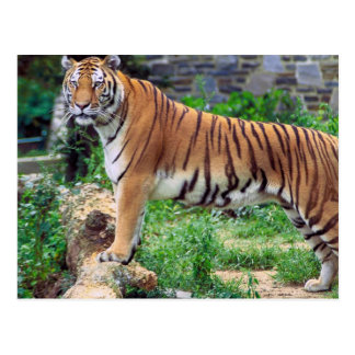Striped Tiger Postcard