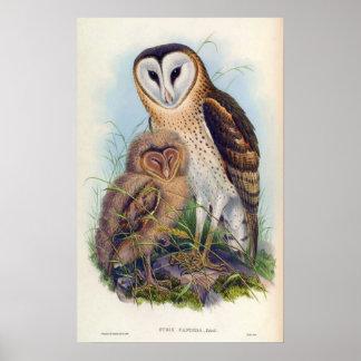 Strix Candida (Grass-Owl) Poster