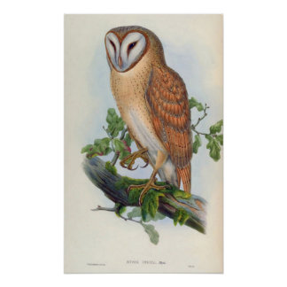 Strix Indica (Indian Screech Owl) Poster