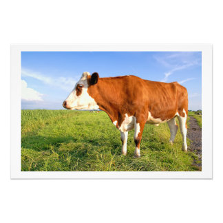 Strong Friesian cow Art Photo