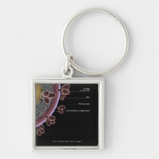 Structure of a HIV cell Keychain