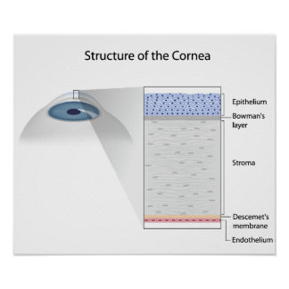 Structure of human cornea Poster
