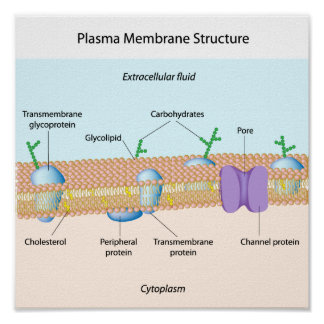 Structure of plasma membrane Poster