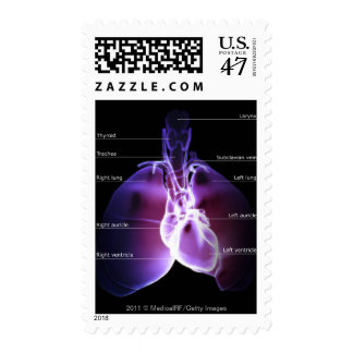 Structure of the heart and lungs postage