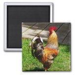 Strutting Rooster Refrigerator Magnets