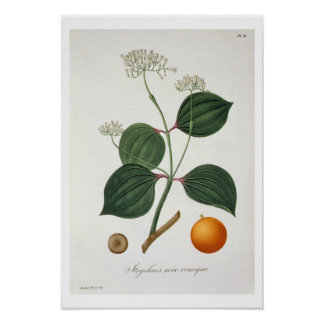 Strychnos nux vomica from 'Phytographie Medicale' Print