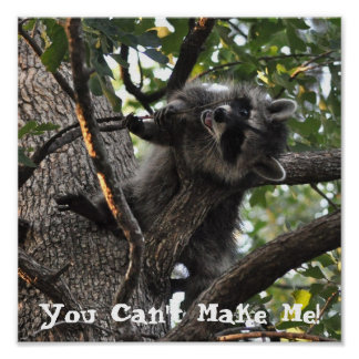 Stubborn Raccoon up in a Tree - Poster