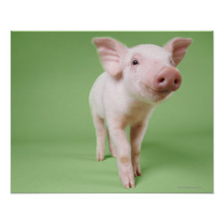 Studio Cut Out of a Piglet Standing Poster