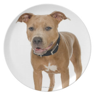 Studio portrait of American pit bull puppy 2 Party Plate