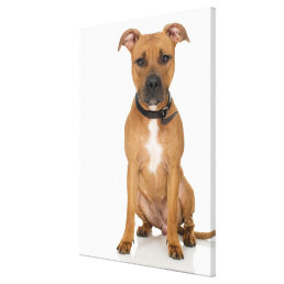 Studio portrait of American pit bull puppy 3 Canvas Print