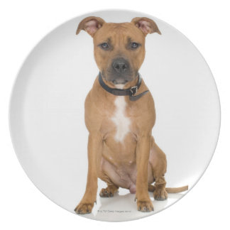 Studio portrait of American pit bull puppy 3 Party Plates