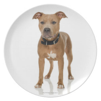 Studio portrait of American pit bull puppy Party Plates