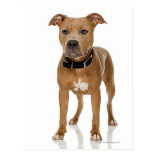 Studio portrait of American pit bull puppy Postcards