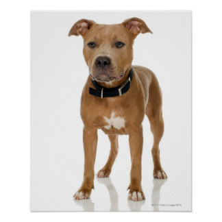 Studio portrait of American pit bull puppy Poster