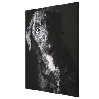 Studio portrait of black jack-a-doodle 2 canvas print