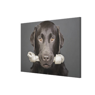 Studio portrait of chocolate labrador carrying stretched canvas print
